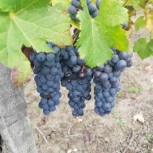Wineyard